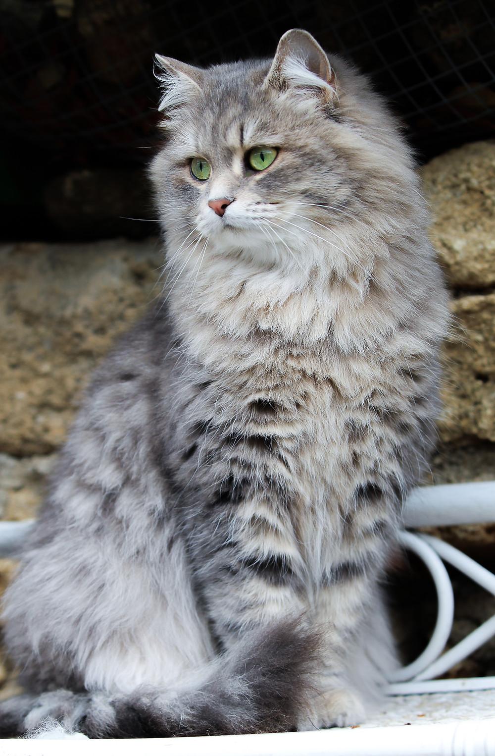 Chatte sibérienne blue Spotted Tabby, élevage de la Maison de l'Ours, Languedoc Roussillon
