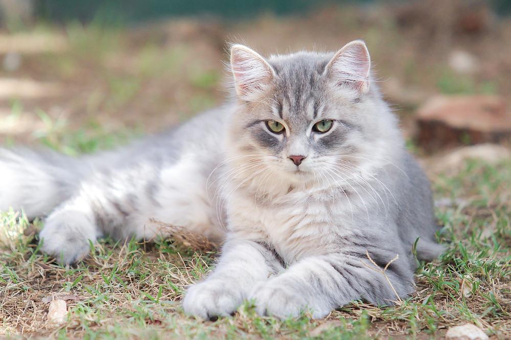 chaton bleu mackerel tabby élevage de la Maison de l'Ours Languedoc Roussillon