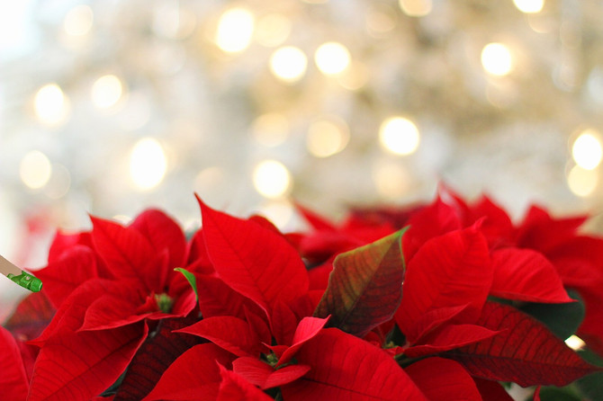 Christmas Poinsettias: their history and care