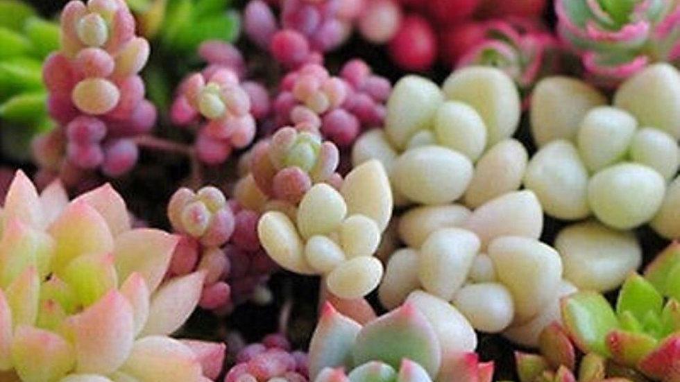 Senecio Mixed Succulent Seeds Lithops Rare Living Stones Cactus - 100 Seeds