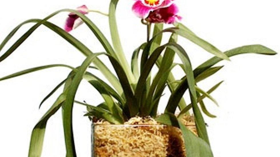SENECIO® Horticultural Original Natural Pumice Stone Lava Rock For Orchids & Bon