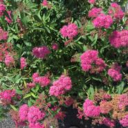Pink Flowering Bush.JPG