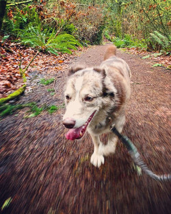 #itsmegalileo #trailday #traildog #waitforit #iseeasquirrel #australianshepherd #australianshepherds
