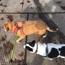 #nortwestsunshine #walkeatsleeprepeat #adoptadog #pugsofinstagram #pugslife #jackrussellterrier #ter