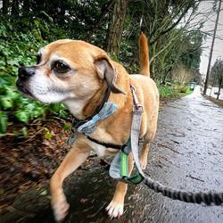 #ollieoley #knowshesaboss #bossdog #headhealdhigh #unlessyouhavetreats #puggle #puggles #runpuggleru