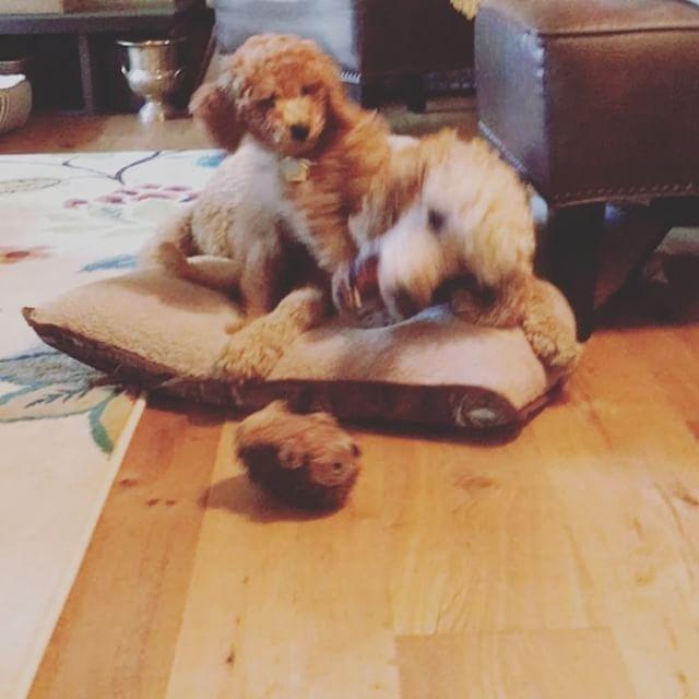 #cutenessoverload #cantstopwontstop #toomuchfun #happydogs #rufflife #playneverends #hollydoodle #po