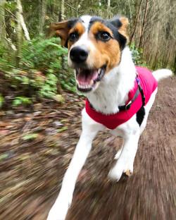 #allsmiles #happydog #mixedbreed #rainydayrun #runningwithrue #rescuedog #rescuedogsofinstagram #dis