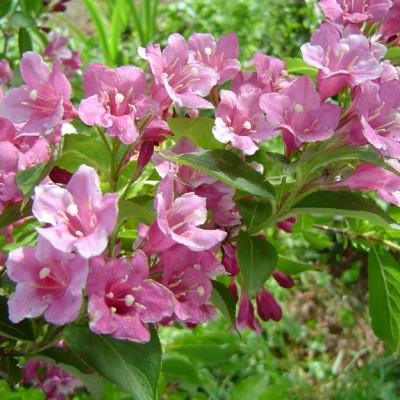 weigelia-grandes-fleurs