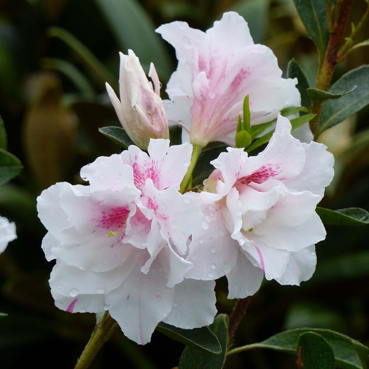 azalee-du-japon-white-prince-781704-1_1.