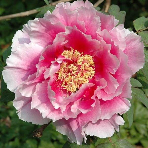 pivoine-suffructicosa-pink-881014-1