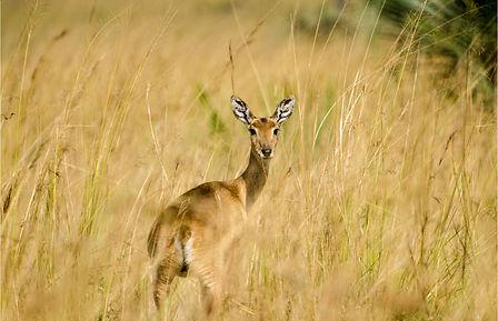 O veado campeiro é um animal típico da fauna da Chapada dos Veadeiros.