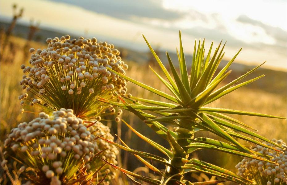 Palipalan ou chuveirinho é a flor símbolo da flora da Chapada dos Veadeiros.