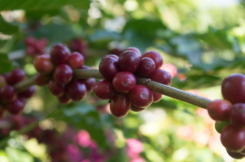 Granos de café en cereza
