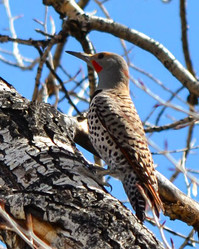 Flicker near the North Platte