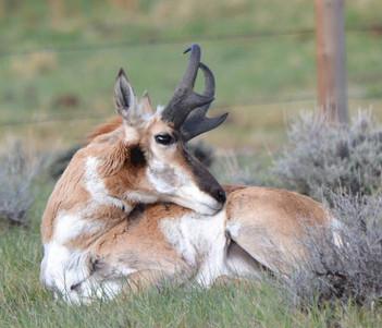 Resting Antelope