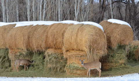 Whitetails in the Hay