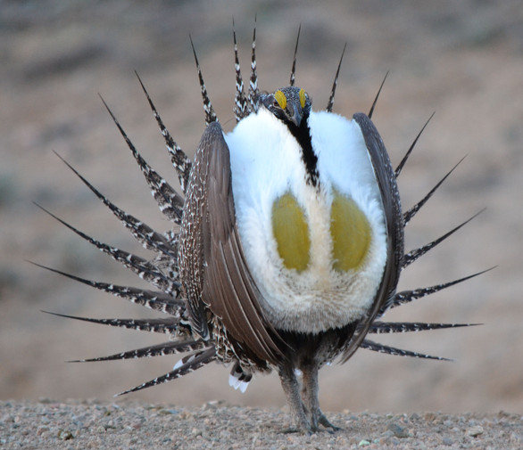 Sage Grouse Full Strut