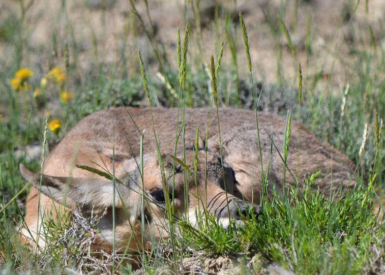 Baby Antelope Hiding