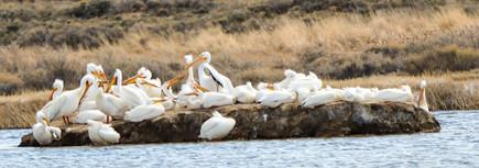 Pelican Gathering