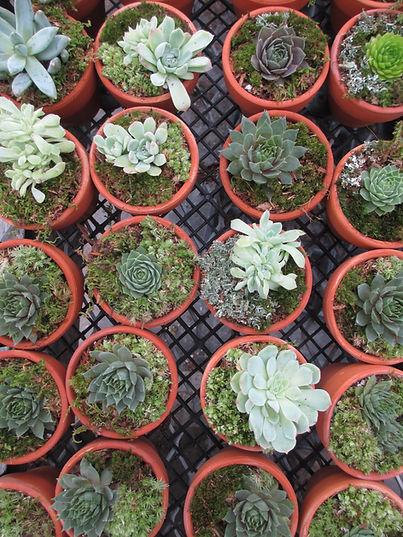 baby succulents in clay pots