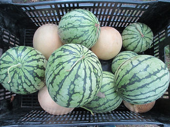 crate of ripe melons
