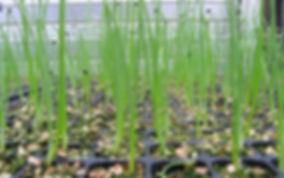 baby onion plants growing