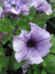 variegated purple petunia