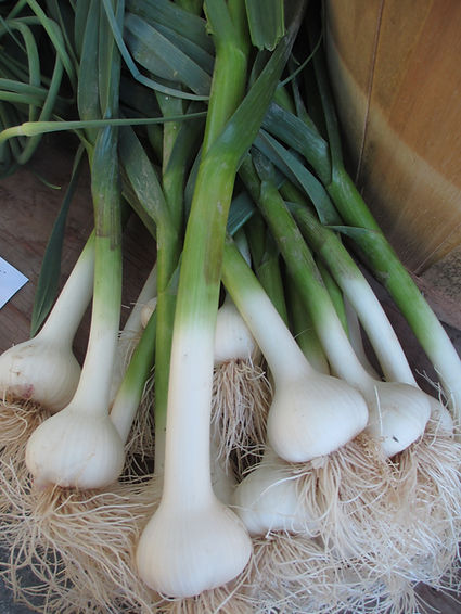 fresh garlic, with stalk and scapes