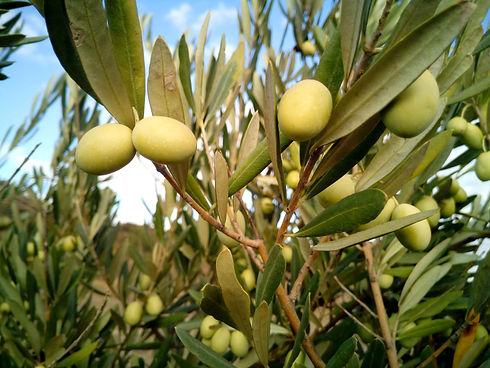 olive-trees-1126320.jpg