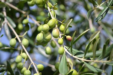 olives-886881.jpg