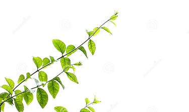 jusmin-leaves-branches-white-background-