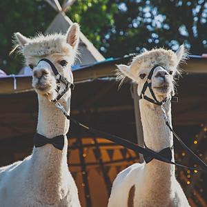 Poolhouse Alpacas x Belcote Farm