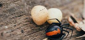 redback spider and egg sacs