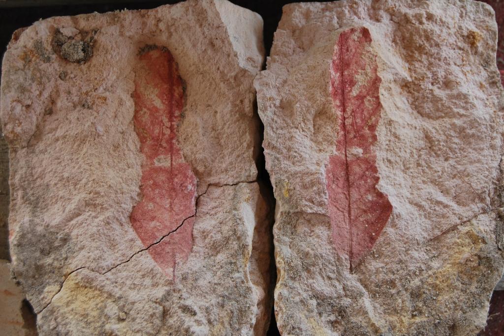 Split rock exposing fossil leaf.