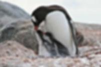 Manchot Papou et ses petits, Antarctique