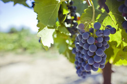 winery-vineyard6