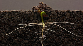 Dirt Root.jpg