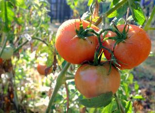 FCC Grows Love in Community Garden