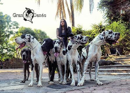 Perros Gran Danes Arlequin con Liz Macia