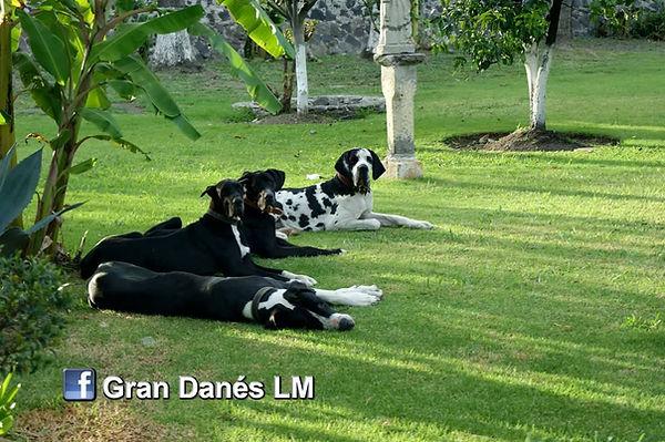 perros gran danes criadero mexico lm.jpg