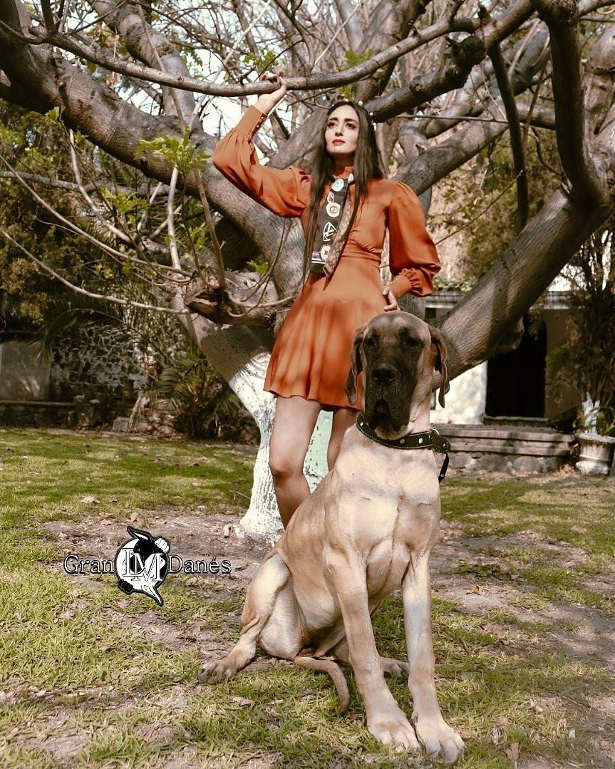 Foto fashion de perro Gran Danes Leonado con Liz Macias, foto para Gran Danes LM arbol hojas secas