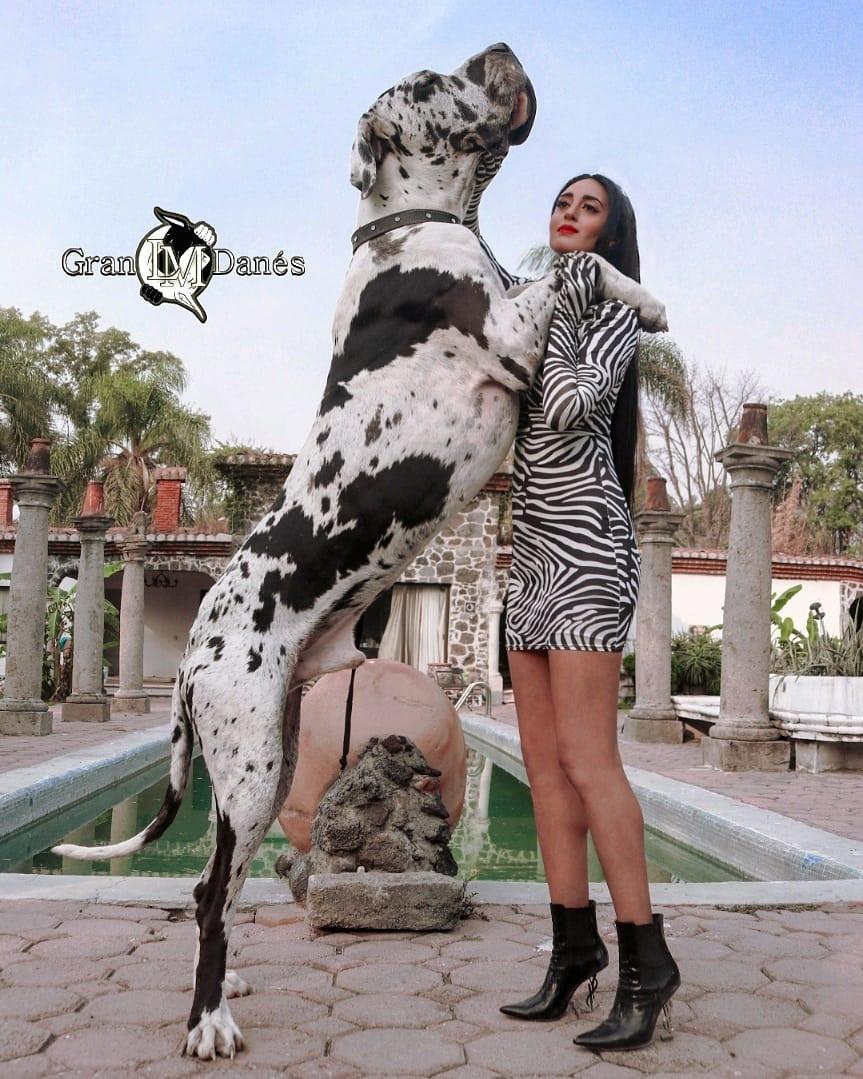 Perro Gran Danes parado en 2 patas con Liz Macias fashion yves saint laurent