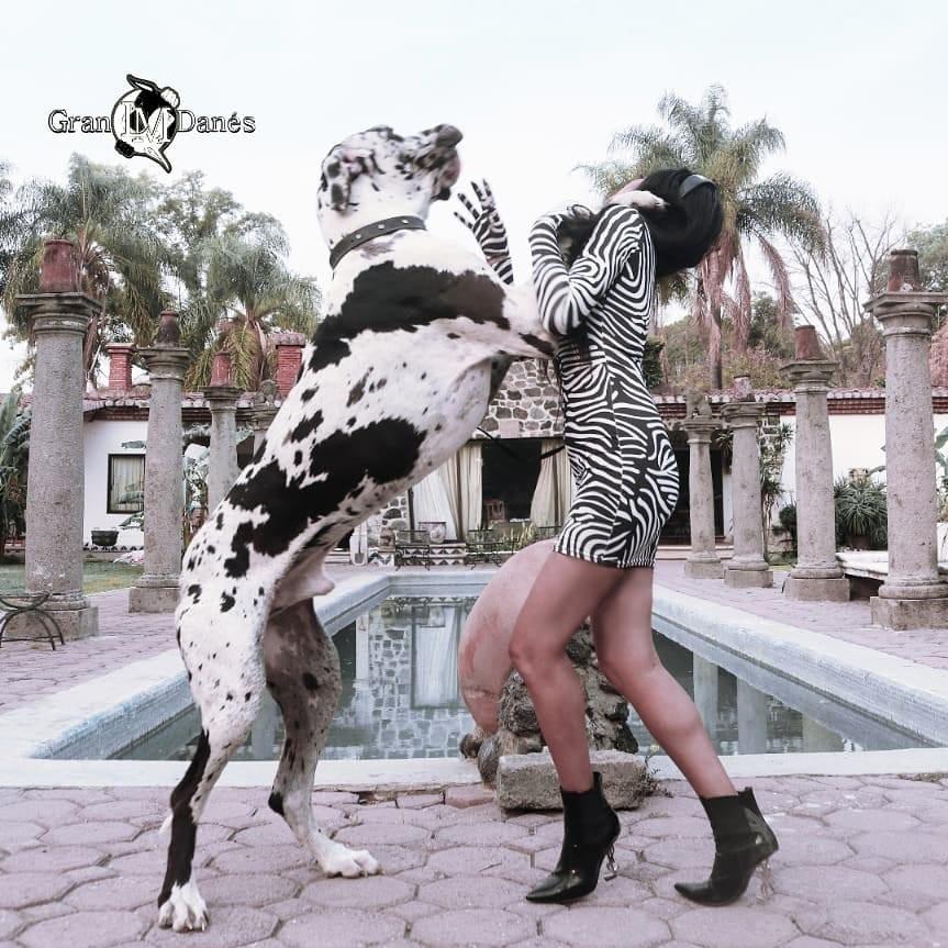 Fotografia de perro Gran Danes Arlequin parado en 2 patas con Liz Macias fashion vestido cebra