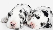 ¿Cómo cuidar a un cachorro Gran Danés?                                Por criadero Gran Danés LM.