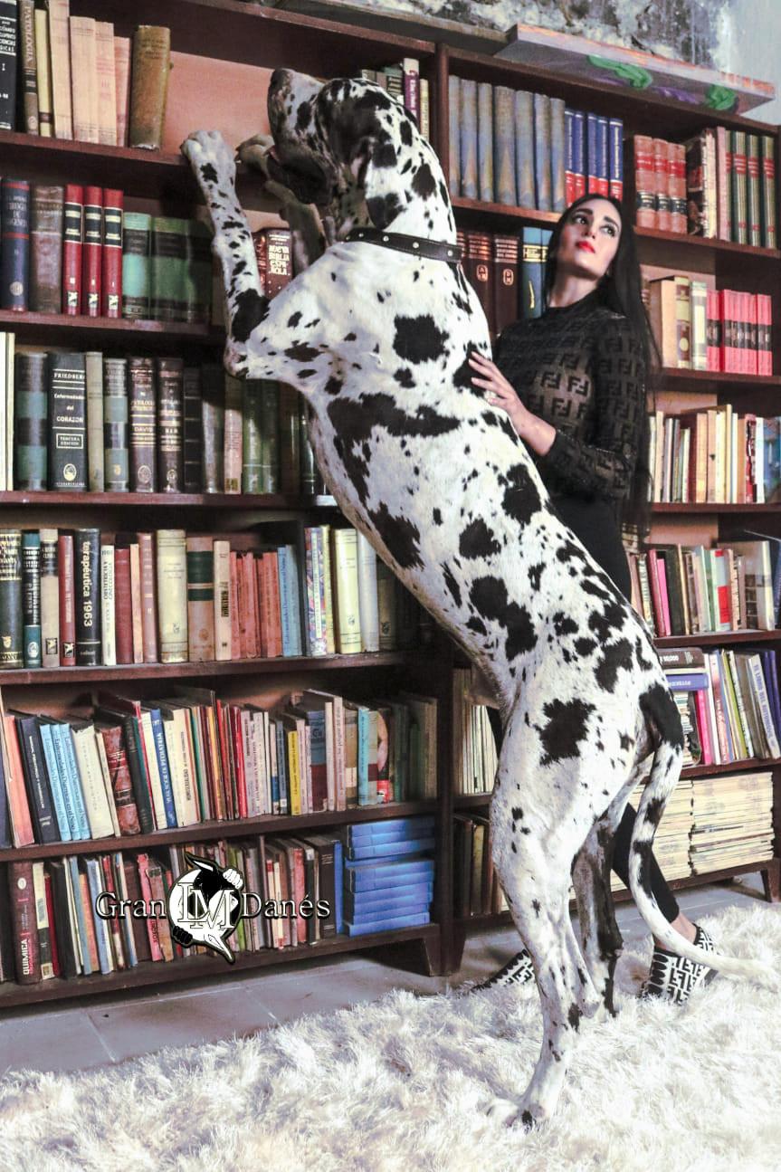 Perro Gran Danes Arlequin parado de 2 patas con Liz Macias Gran Danes LM en una biblioteca