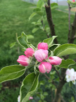 Eastbourne Pippin apple blossom