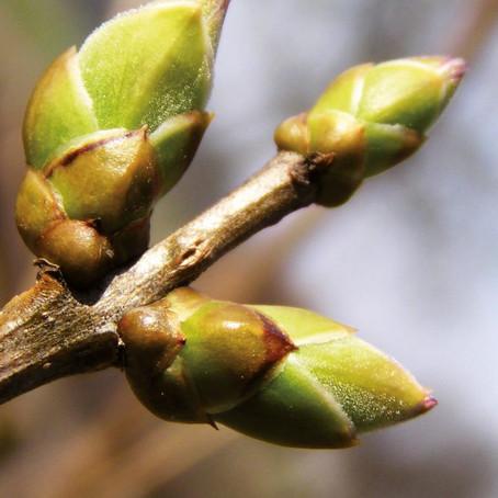 Le foie ou le jaillissement du printemps