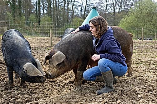 Des cochons gascon et duroc à la Ferme Hougerville, élevage de porc bio