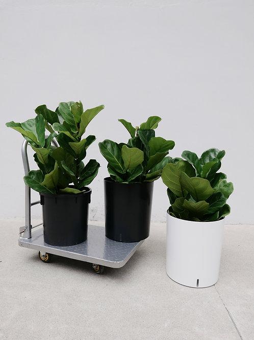 Ficus Lyrata (Fiddle Leaf Fig) in Self-watering Pot (Cylinder)