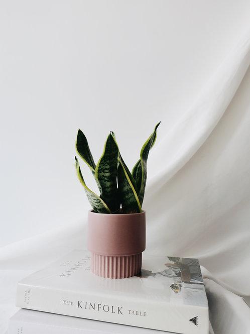 Snake Plant in KUPI Ceramic Pot